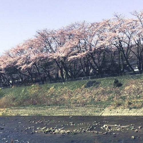 金沢 桜①
